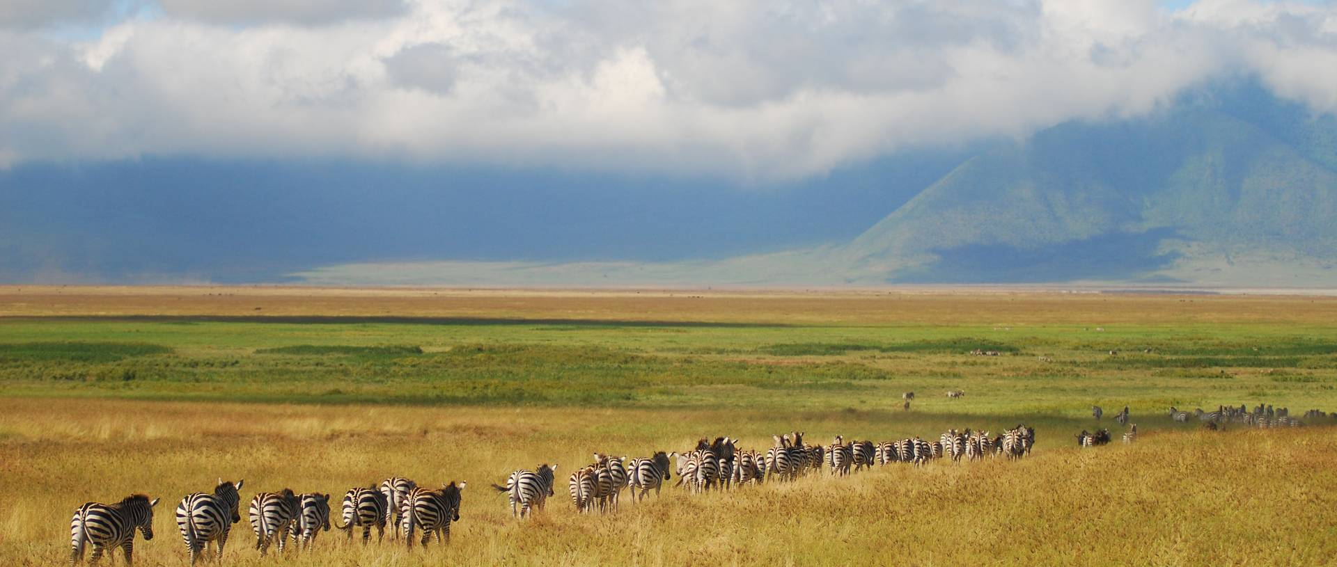 A line of zebras migrating in Ngorongoro Crater, Tanzania