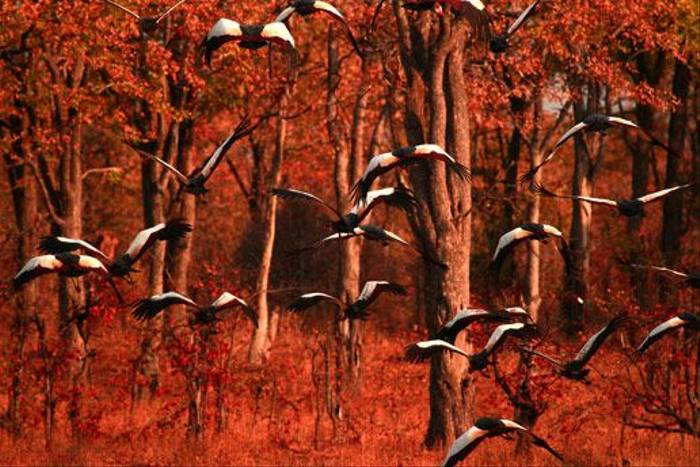 Crowned Cranes (Bret Charman)