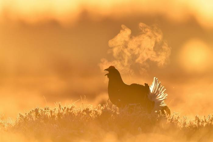 Black Grouse Shutterstock 1064432474