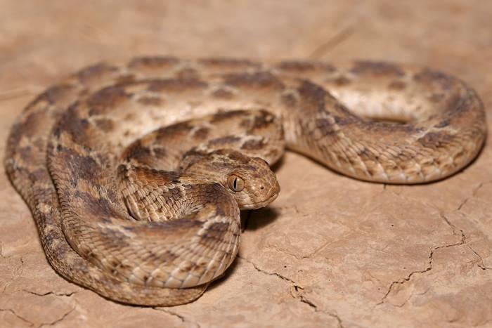 White-bellied Carpet Viper (Echis leucogaster) - Dan Kane