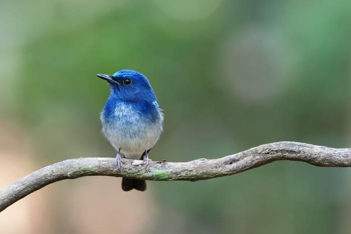 Hianan Blue Flycatcher, Burma shutterstock_307166852.jpg
