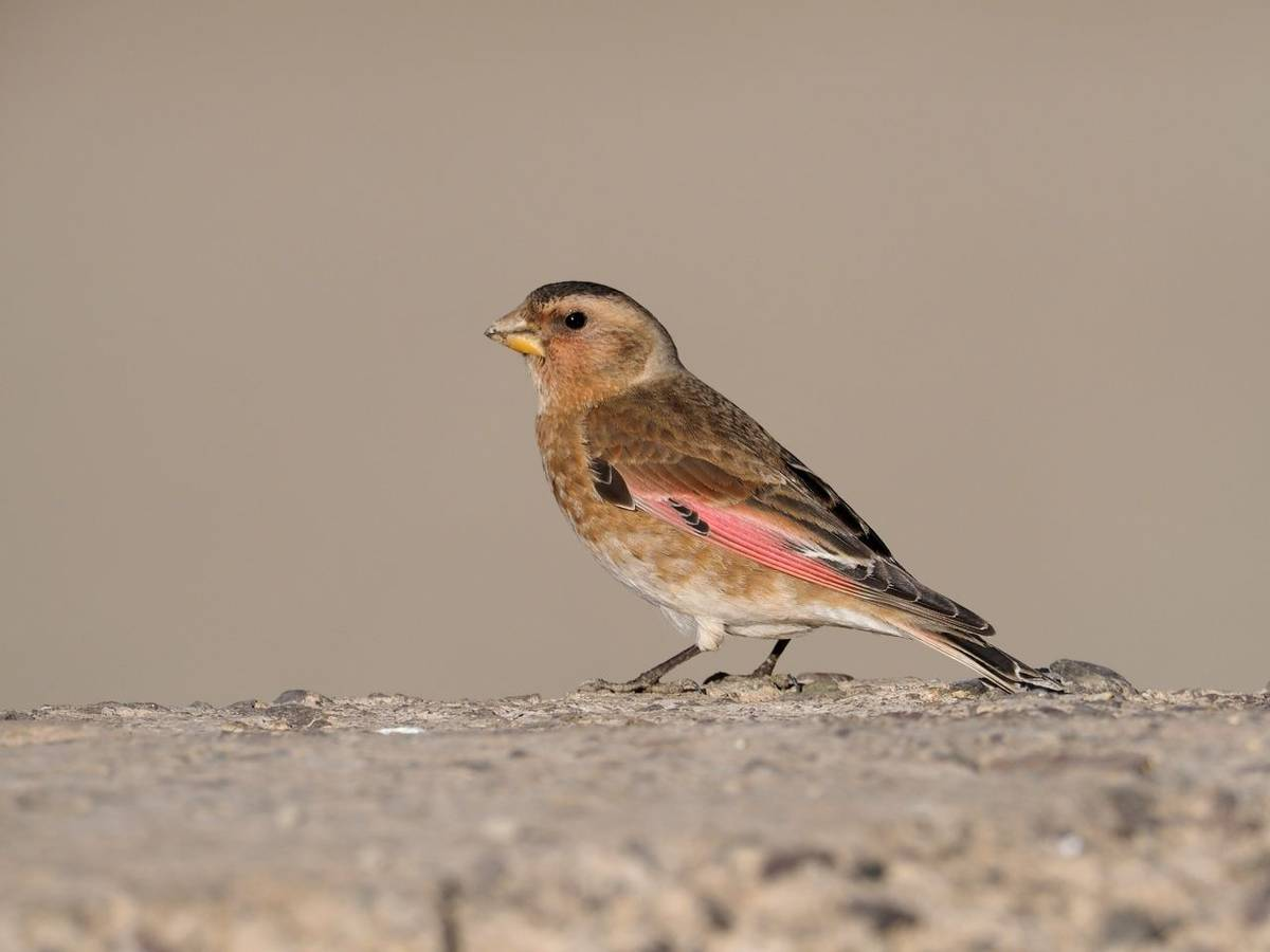 Crimson Winged Finch, Morocco Shutterstock 1057500671