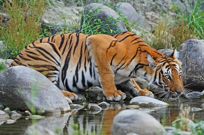 Tiger, Chitwan National Park, Nepal shutterstock_711276316.jpg