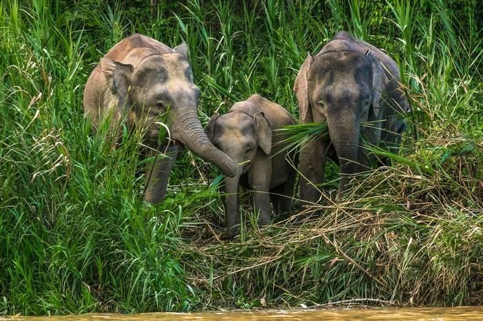 Bornean Pygmy Elephant Shutterstock 450323725