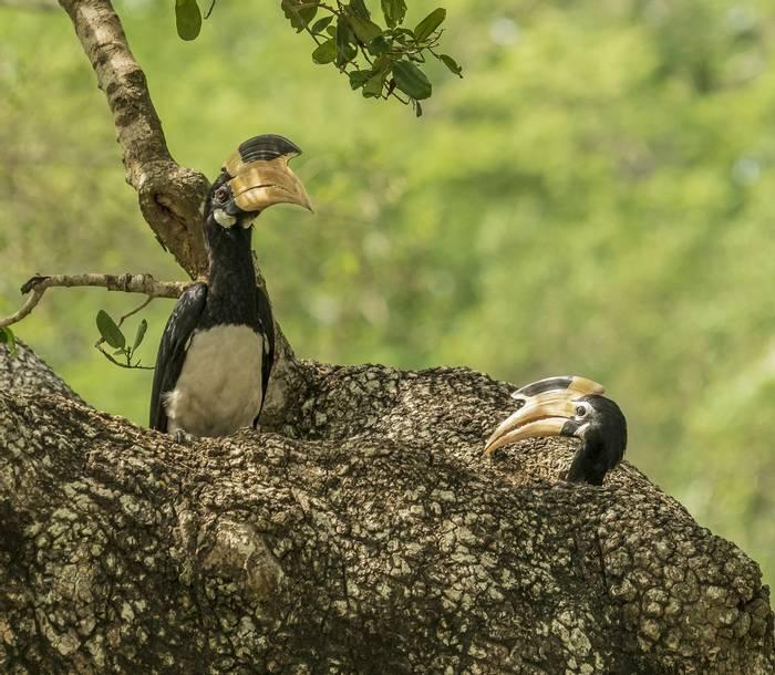 Malabar Hornbills (John Archer Thomson)