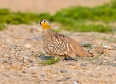 Western Sahara's Desert Wildlife (Birds)