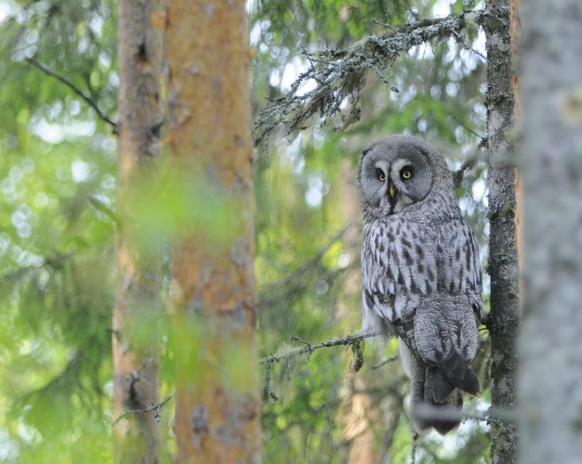 great grey owl (Adam selmeczi kovacs)
