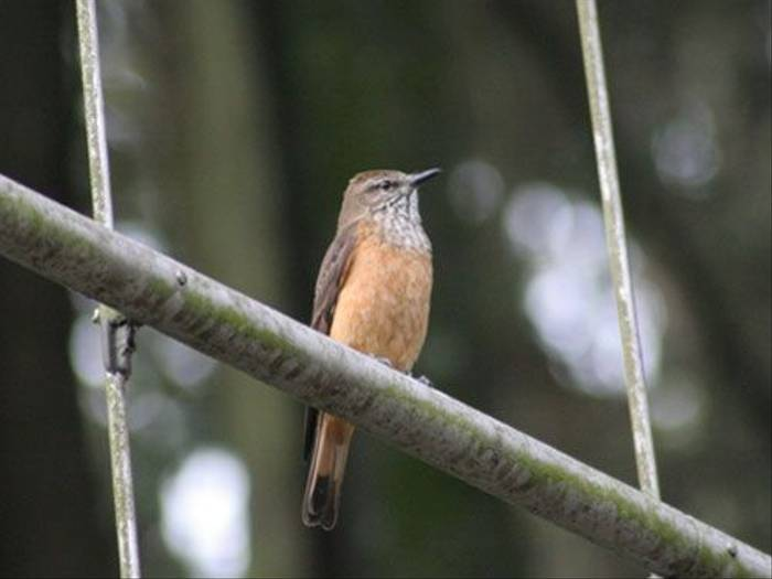 Streak-throated Bush-Tyrant (Byron Palacios)