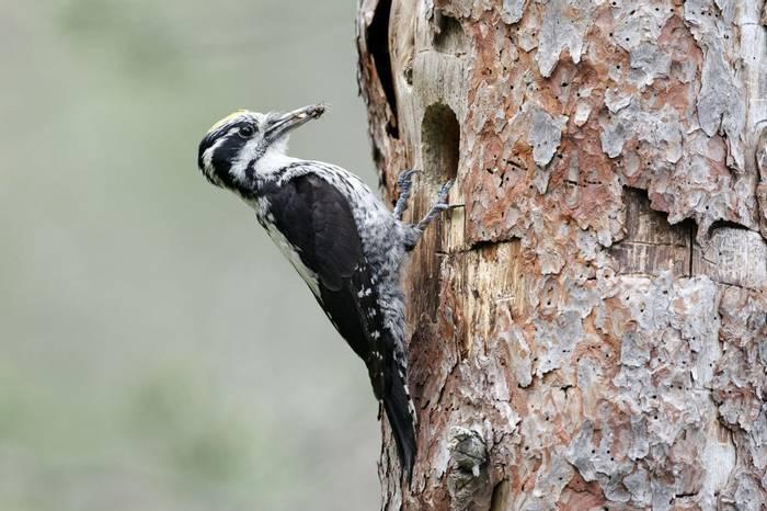Three Toed Woodpecker. Shutterstock 107733866