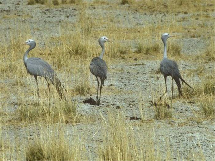 Blue Cranes (Paul Stanbury)