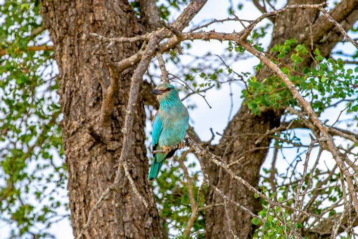 Racket-tailed Roller, Kruger, South Africa shutterstock_1363991894.jpg
