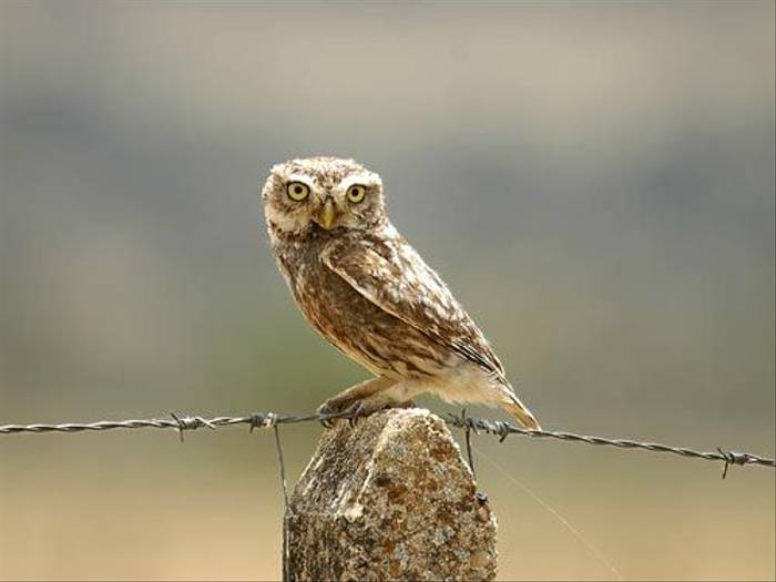 Little Owl (David Morris)