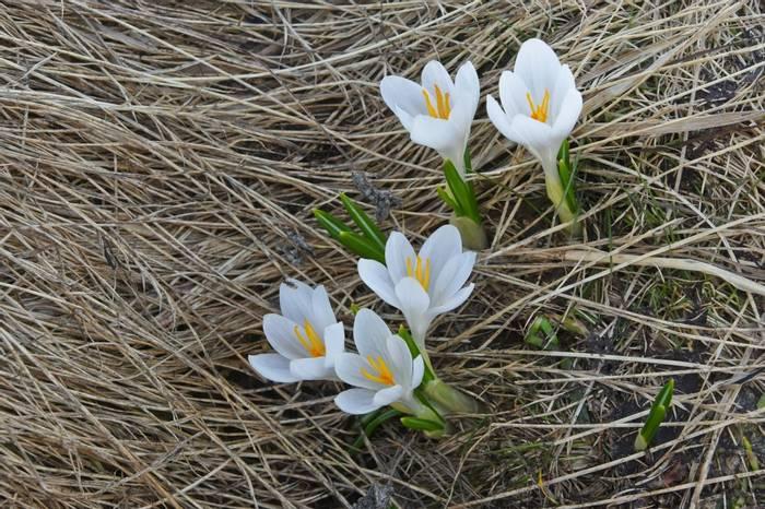 Crocus vernus subsp. albiflorus