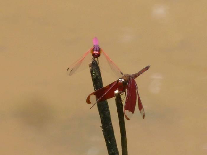 Crimson Marsh Glider and Fluvous Forest Skimmer, Tr. aurora en N. fulvia (Steve Dutmer)