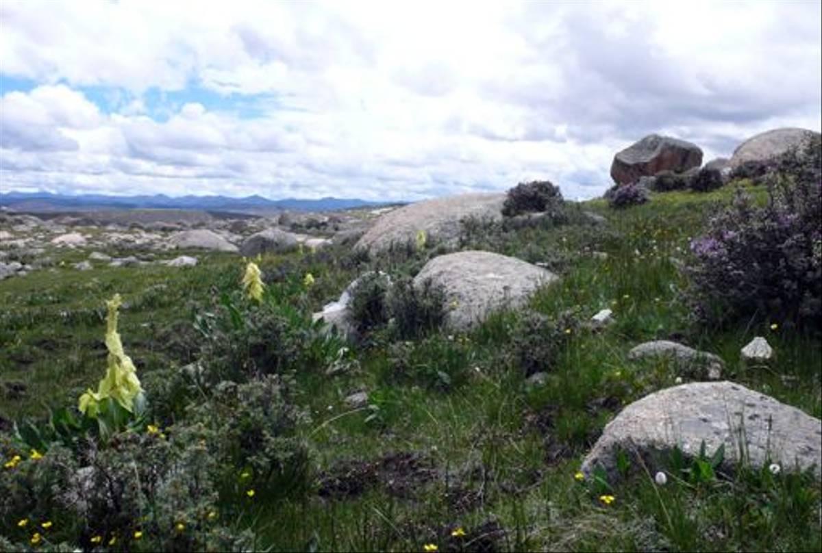 Rheum alexandrae, north of Sangdui (Phillipe de Spoelberch)