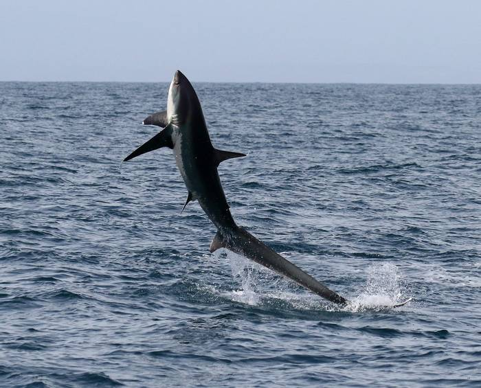 Thresher Shark (Copyright George & Les Carr)
