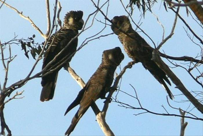 Carnaby's Black Cockatoos at Stirling Range Retreat (Peter Taylor)
