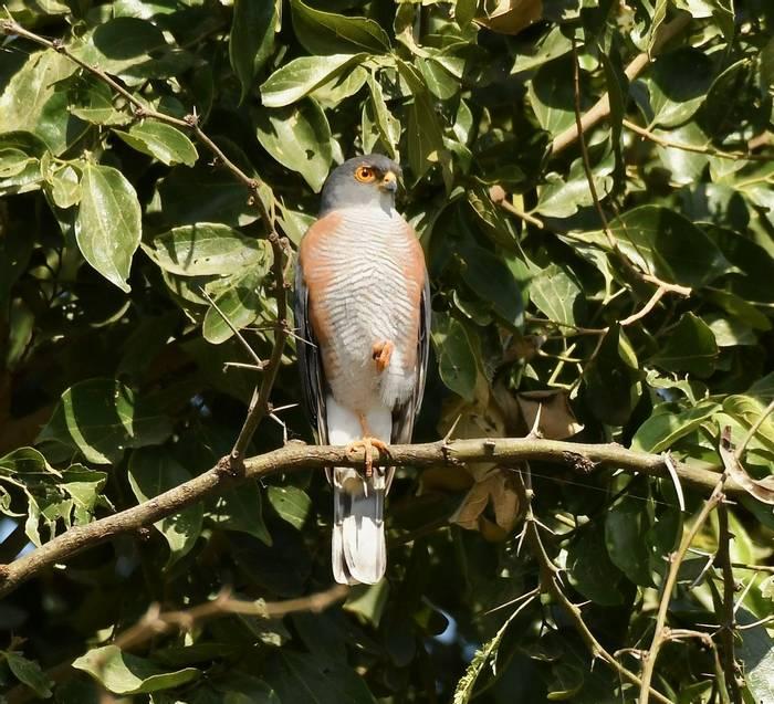 Little Sparrowhawk.jpeg