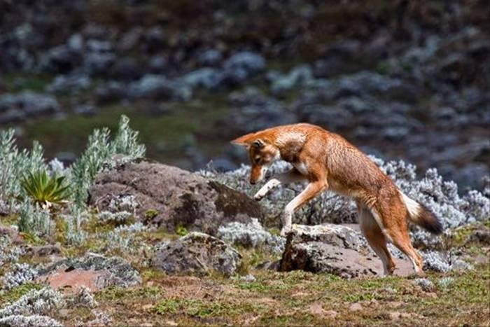 Ethiopian Wolf (Dani Free)