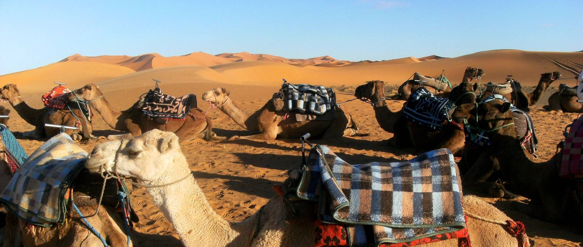 Camels, Ready For Our Trek Into The Desert