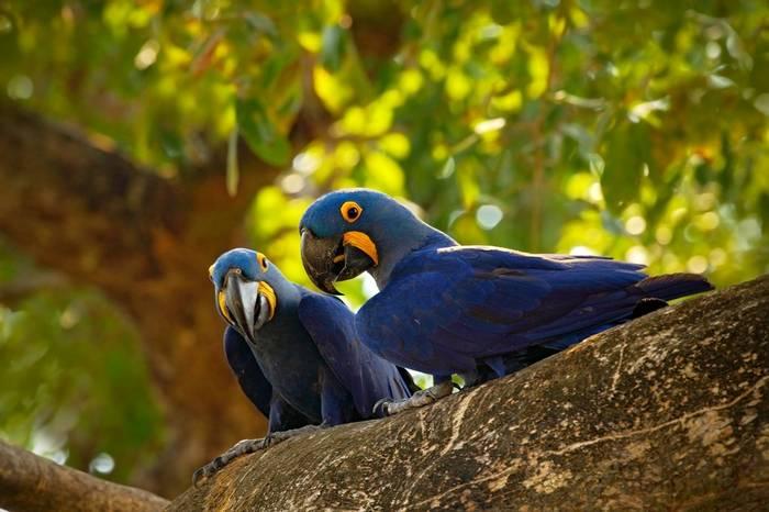 Hyacinth Macaws, Brazil Shutterstock 388186888