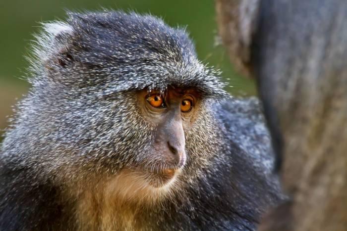 Blue Monkey, Lake Manyara, Tanzania. shutterstock_182712020.jpg