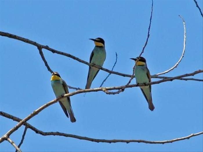 European Bee-eaters (Peter Dunn)