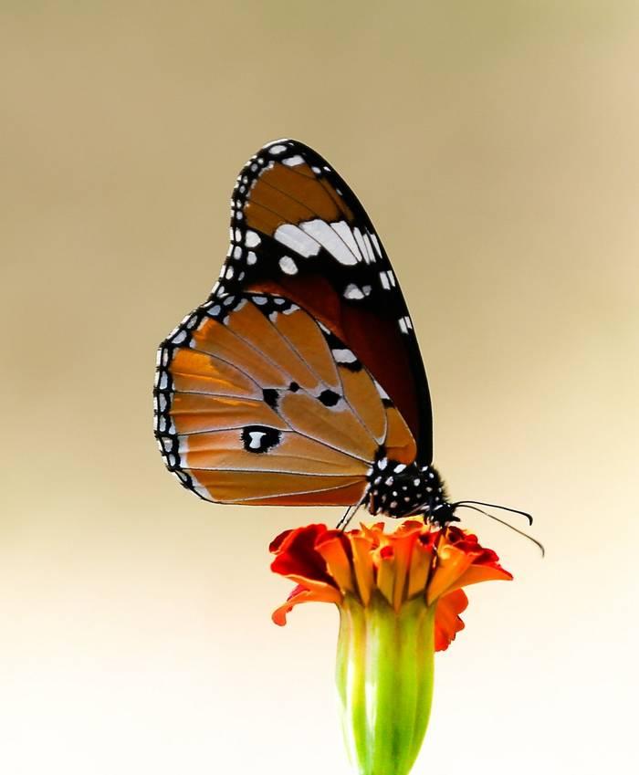 Plain Tiger Butterfly - Ranthampore (Neil Pont)