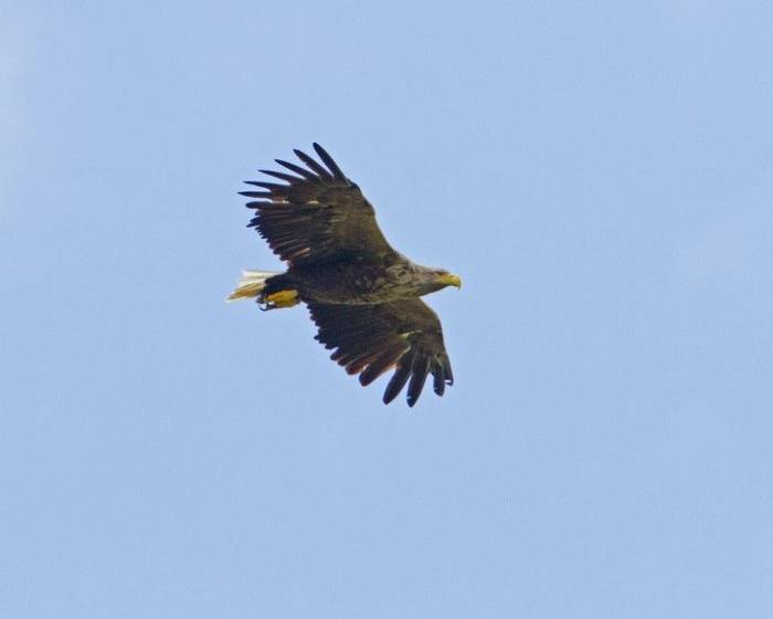White-tailed Eagle (Mick Stallwood)