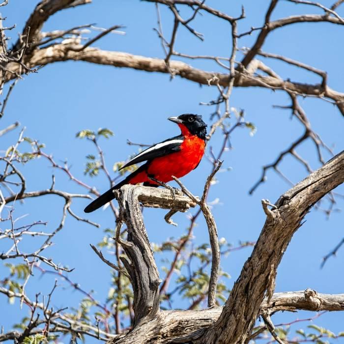 Crimson-breasted Shrike, Africa shutterstock_1825844147.jpg