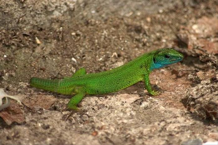 Green Lizard (David Morris)