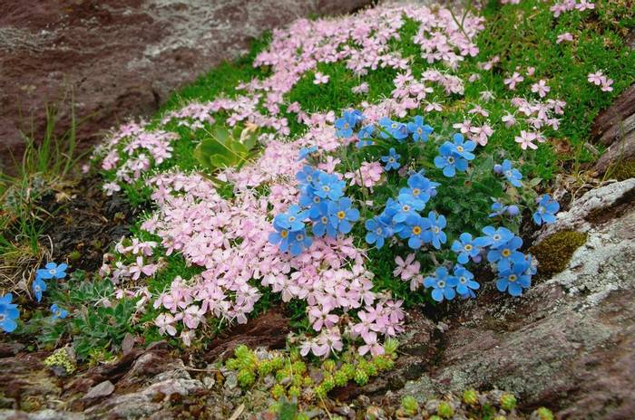 Moss Campion and King-of-the-Alps, Italy shutterstock_1140956339.jpg