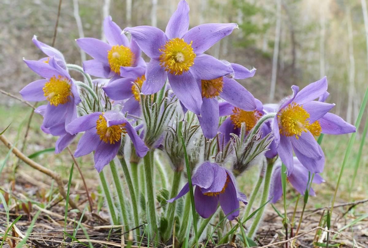 Spring Pasque Flower shutterstock_417939919.jpg