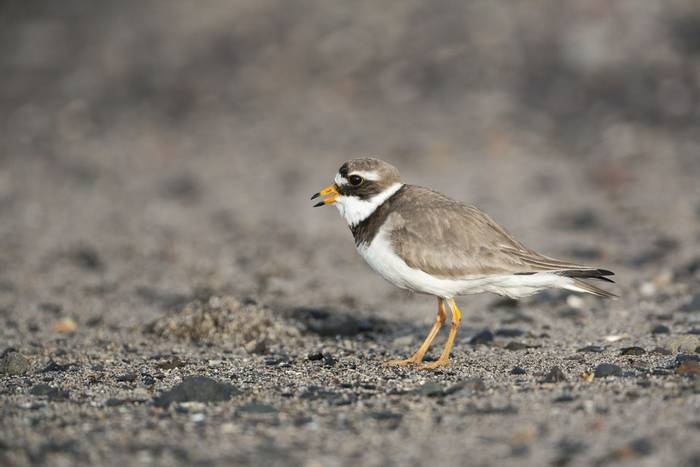 Common Ringed Plover (Oliver Smart)