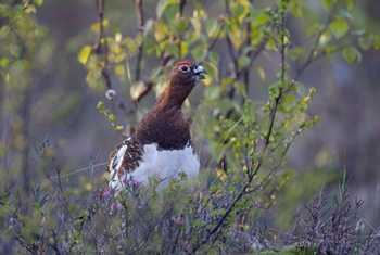 Willow Ptarmigan (Jari Peltomaki)