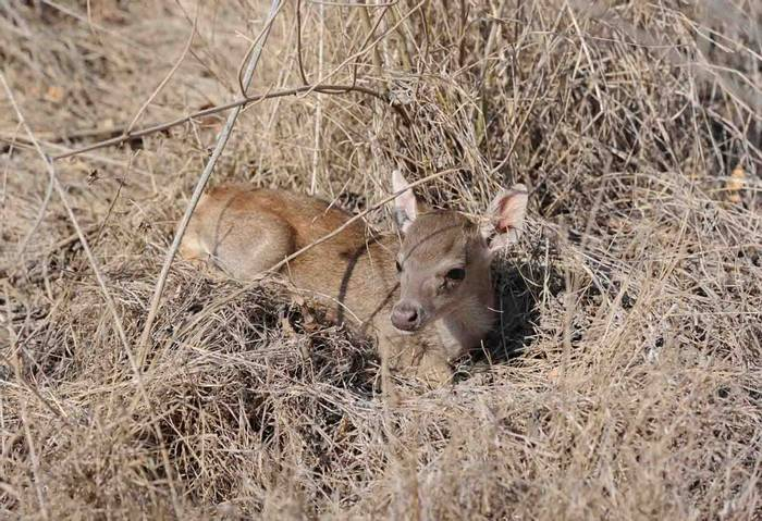 Timor Deer (Charles Anderson)