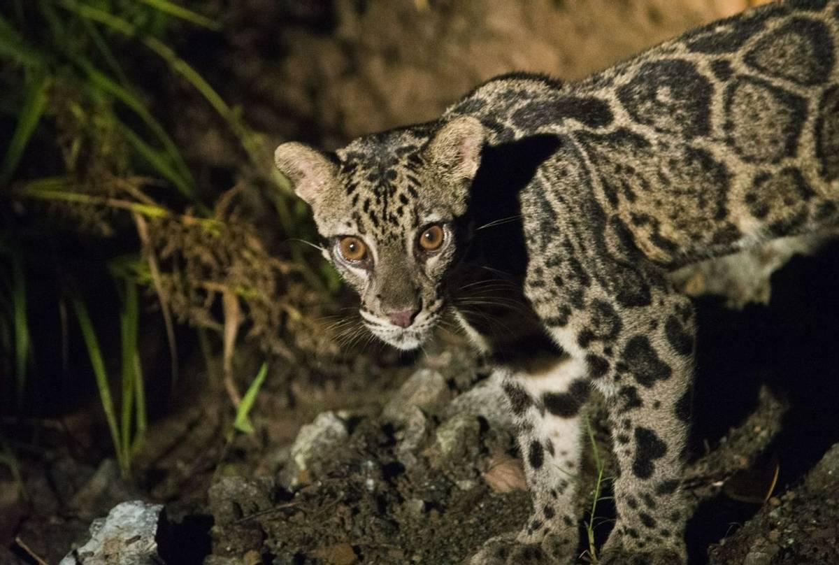 Clouded Leopard (Chris Still)