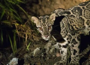 Borneo's Mammals - Deramakot Forest Reserve