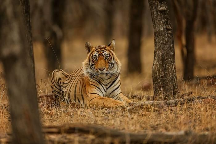 Tiger Shutterstock 655720966