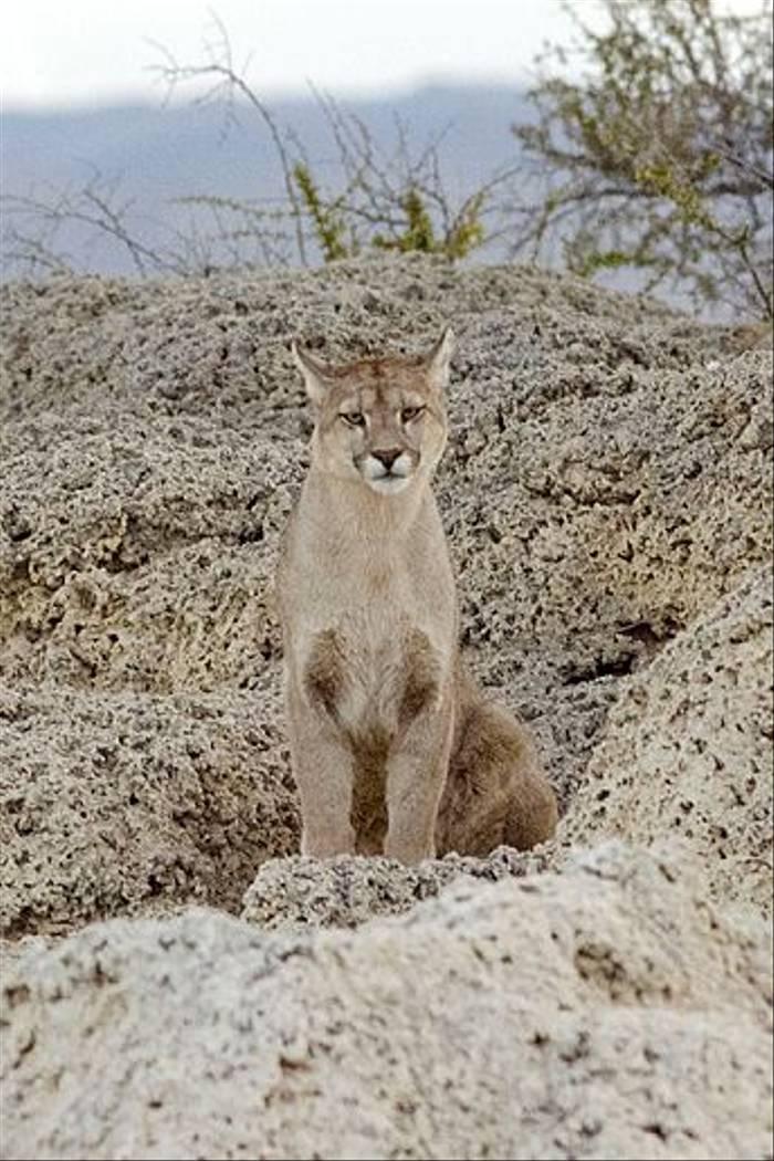 Puma (Ian Bruce)