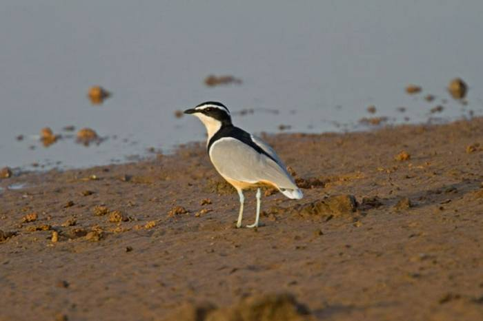 Egyptian Plover Gambia 11.10   1