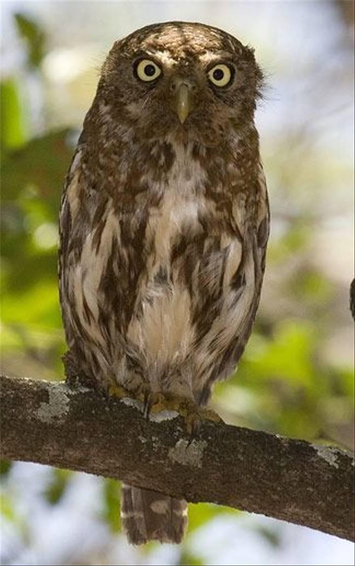 Pearl-spotted Owlet (Leon Marais)