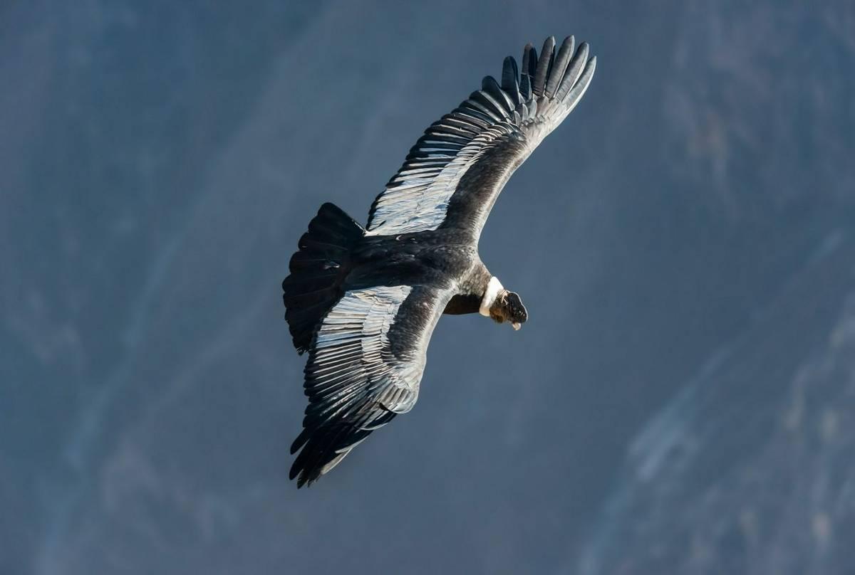 Andean Condor Shutterstock 256033969