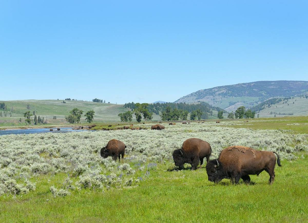 Bison Lamar Valley Yellowstone Shutterstock 672878734