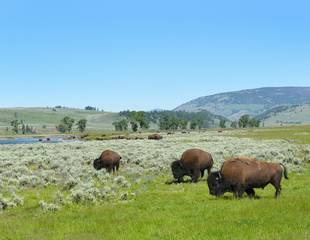 Yellowstone in Spring