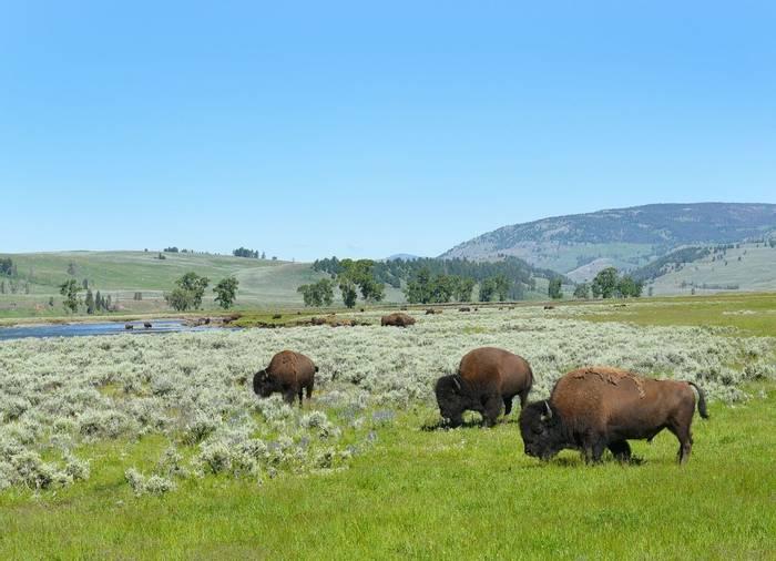Bison Lamar Valley Yellowstone Shutterstock 672878734