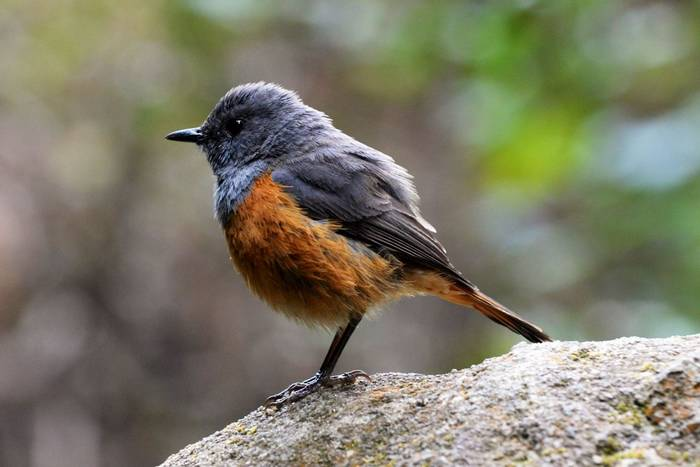 Benson's Rock Thrush (Cathy Harlow)