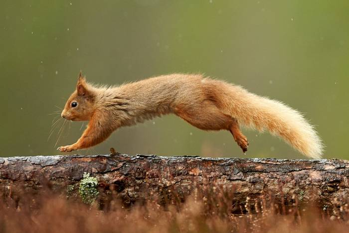 Red Squirrel, Cairngorms National Park, Scotland