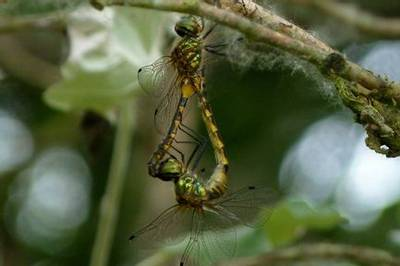 Yellow-spotted Emerald pair