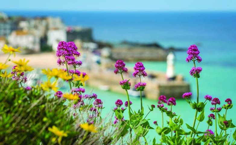 Pink and yellow flowers in front of defocused bay and beach in St. Ives, Cornwall, England, UK, Europe